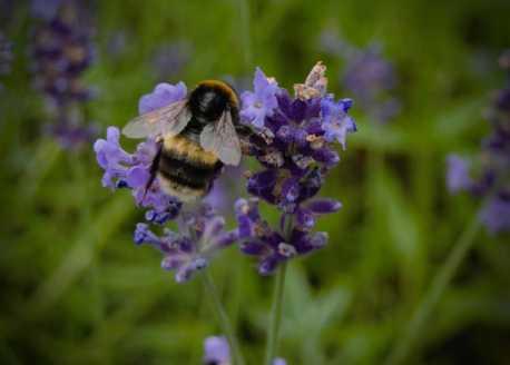 Biene auf Blüte (vor Saint John University York)